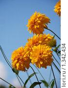 Купить «Цветы золотые шары на фоне голубого неба», эксклюзивное фото № 1342434, снято 31 июля 2009 г. (c) lana1501 / Фотобанк Лори
