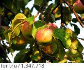 Купить «Яблоки на ветке», фото № 1347718, снято 5 сентября 2008 г. (c) Светлана Кириллова / Фотобанк Лори