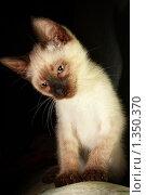 Купить «Сиамский котёнок», фото № 1350370, снято 28 декабря 2009 г. (c) Михаил Митин / Фотобанк Лори