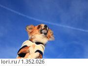 Купить «Собака породы чихуахуа на фоне голубого неба», эксклюзивное фото № 1352026, снято 1 января 2010 г. (c) Яна Королёва / Фотобанк Лори