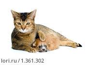 Купить «Кошка обнимает щенка породы чихуахуа», фото № 1361302, снято 8 января 2010 г. (c) Vladimir Suponev / Фотобанк Лори