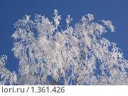 Белая берёза. Стоковое фото, фотограф Алексей Вялов / Фотобанк Лори