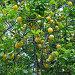 Дерево лимона, фото № 1365530, снято 22 мая 2009 г. (c) Юлия Селезнева / Фотобанк Лори