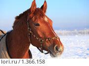 Купить «Рыжий конь», фото № 1366158, снято 11 января 2010 г. (c) Яна Королёва / Фотобанк Лори