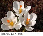 Три белых крокуса. Стоковое фото, фотограф Андрей Траханов / Фотобанк Лори