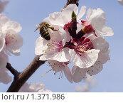 Купить «Пчела на абрикосе», фото № 1371986, снято 10 мая 2009 г. (c) Денис Кравченко / Фотобанк Лори