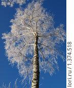 Береза зимой. Стоковое фото, фотограф Базанова Маргарита / Фотобанк Лори