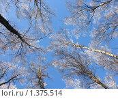 Березы на фоне неба. Стоковое фото, фотограф Владимир Стефанов / Фотобанк Лори