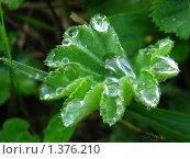 Манжетка в росе. Стоковое фото, фотограф Евгения Никифорова / Фотобанк Лори