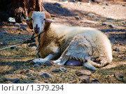 Овца на привязи. Стоковое фото, фотограф Бурдина Мария / Фотобанк Лори