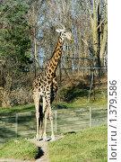 Жираф в зоопарке. Стоковое фото, фотограф Бурдина Мария / Фотобанк Лори