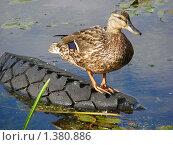 Купить «Утка», эксклюзивное фото № 1380886, снято 29 июня 2009 г. (c) lana1501 / Фотобанк Лори