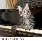 Купить «Котенок породы мейн-кун сидит на фортепиано», фото № 1386790, снято 15 января 2010 г. (c) Бутинова Елена / Фотобанк Лори