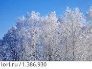 Заснеженные березы на фоне чистого синего неба. Зимнее кружево. Стоковое фото, фотограф Наталья Громова / Фотобанк Лори