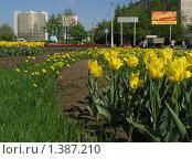 Желтые тюльпаны на городской клумбе (2009 год). Редакционное фото, фотограф Антон Алябьев / Фотобанк Лори