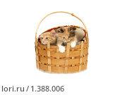Купить «Котята выглядывают из корзины», фото № 1388006, снято 16 января 2010 г. (c) Евгений Дубинчук / Фотобанк Лори