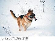 Купить «Овчарка играет на зимней прогулке», фото № 1392218, снято 3 января 2010 г. (c) Анастасия Некрасова / Фотобанк Лори