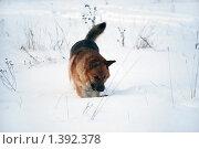 Купить «Овчарка играет на зимней прогулке», фото № 1392378, снято 3 января 2010 г. (c) Анастасия Некрасова / Фотобанк Лори
