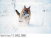 Купить «Овчарка играет на зимней прогулке», фото № 1392386, снято 3 января 2010 г. (c) Анастасия Некрасова / Фотобанк Лори
