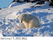 Купить «Белый медведь», фото № 1393962, снято 28 октября 2009 г. (c) Максим Деминов / Фотобанк Лори
