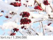 Ягоды калины. Стоковое фото, фотограф Тучкина Любовь Владимировна / Фотобанк Лори
