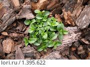 Растение в коре. Стоковое фото, фотограф Кирюшина Евгения / Фотобанк Лори