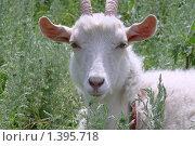 Купить «Белоснежная коза. Портрет.», фото № 1395718, снято 27 июня 2009 г. (c) Володина Ольга / Фотобанк Лори