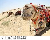 Верблюд (2009 год). Стоковое фото, фотограф Кирюшина Евгения / Фотобанк Лори