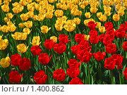 Купить «Красные и желтые тюльпаны», фото № 1400862, снято 9 мая 2009 г. (c) Алёшина Оксана / Фотобанк Лори