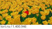 Купить «Красные и желтые тюльпаны», фото № 1400946, снято 9 мая 2009 г. (c) Алёшина Оксана / Фотобанк Лори