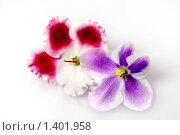 Купить «Цветы фиалки двух сортов ( Сенполия )», фото № 1401958, снято 26 октября 2009 г. (c) ElenArt / Фотобанк Лори