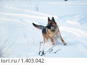 Купить «Овчарка играет на зимней прогулке», фото № 1403042, снято 3 января 2010 г. (c) Анастасия Некрасова / Фотобанк Лори