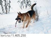 Купить «Овчарка играет на зимней прогулке», фото № 1405250, снято 3 января 2010 г. (c) Анастасия Некрасова / Фотобанк Лори