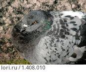 Нахохленный голубь. Стоковое фото, фотограф Александр Евсюков / Фотобанк Лори