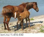 Купить «Лошадь с жеребенком около воды», фото № 1410930, снято 15 февраля 2019 г. (c) Ольга Вьюшкова / Фотобанк Лори