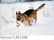 Купить «Овчарка играет на зимней прогулке», фото № 1411330, снято 3 января 2010 г. (c) Анастасия Некрасова / Фотобанк Лори