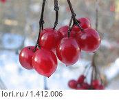 Купить «Калина», фото № 1412006, снято 21 января 2010 г. (c) Константин Кург / Фотобанк Лори