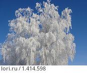 Береза в инее на фоне синего неба. Стоковое фото, фотограф Сергей Ширинский / Фотобанк Лори