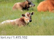 Купить «Теленок лежит в траве», эксклюзивное фото № 1415102, снято 14 июля 2009 г. (c) Яна Королёва / Фотобанк Лори