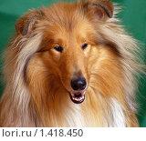 Купить «Портрет рыжего колли (анфас)», фото № 1418450, снято 26 января 2010 г. (c) RedTC / Фотобанк Лори