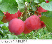 Купить «Яблоки сорта Горноалтайское на ветке», фото № 1418814, снято 20 сентября 2019 г. (c) Ольга Вьюшкова / Фотобанк Лори