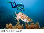 Купить «Дайвер фотографирует каракатицу», фото № 1419734, снято 27 апреля 2008 г. (c) Ольга Хорошунова / Фотобанк Лори