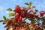 Калина красная на фоне голубого неба, фото № 1420078, снято 2 сентября 2009 г. (c) Наталья Волкова / Фотобанк Лори