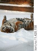 Купить «Тигр валяется в снегу», фото № 1420158, снято 22 декабря 2009 г. (c) Gagara / Фотобанк Лори