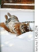 Купить «Тигр в вольере», фото № 1420274, снято 22 декабря 2009 г. (c) Gagara / Фотобанк Лори