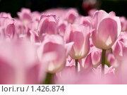 Весенние тюльпаны. Стоковое фото, фотограф Виталий Романович / Фотобанк Лори