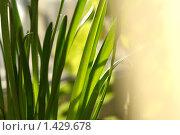 Купить «Листья нарцисса. Весна», фото № 1429678, снято 28 января 2010 г. (c) Вера Беляева / Фотобанк Лори