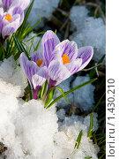 Купить «Первые цветы - крокусы в снегу», фото № 1430210, снято 26 апреля 2009 г. (c) Елена Блохина / Фотобанк Лори