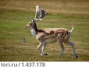 Купить «Пятнистый олень на лугу», фото № 1437178, снято 19 августа 2009 г. (c) Максим Горпенюк / Фотобанк Лори