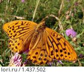 Купить «Бабочка: большая перламутровка», фото № 1437502, снято 21 июля 2007 г. (c) Александр Шилин / Фотобанк Лори